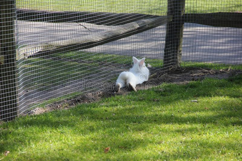 Cute fluffy white little bunny rabbit from the back in small zoo. Spring time in Keukenhof flower garden, Netherlands royalty free stock photo
