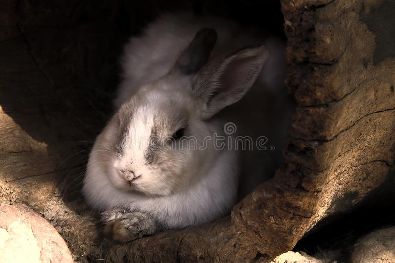 Cute and fluffy wild rabbit Silit in the house in the form of an old tree trunk, fluffy in the shelter royalty free stock photos