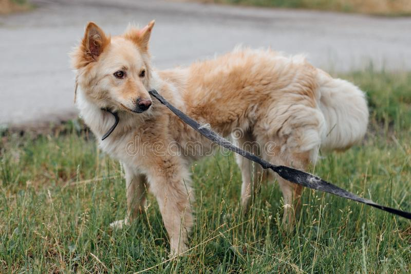 Cute fluffy yellow dog walking in green grass in summer park. Adorable mixed breed puppy with big fur on a walk at shelter. Adoption concept. Stray foxy dog royalty free stock photography