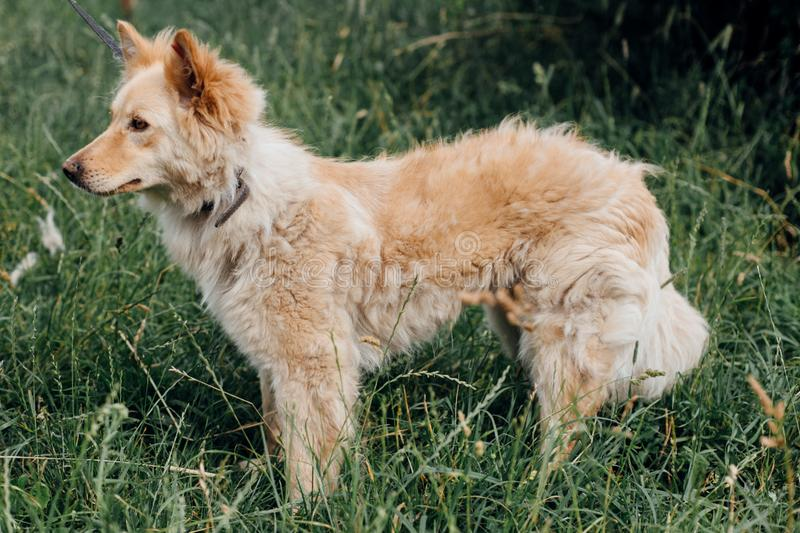 Cute fluffy yellow dog walking in green grass in summer park. Adorable mixed breed puppy with big fur on a walk at shelter. Adoption concept. Stray foxy dog stock photos