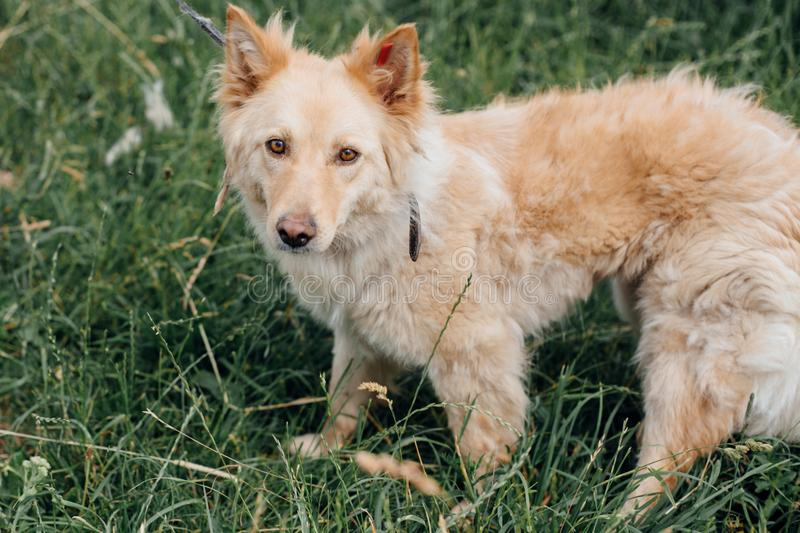 Cute fluffy yellow dog walking in green grass in summer park. Adorable mixed breed puppy with big fur on a walk at shelter. Adoption concept. Stray foxy dog stock image