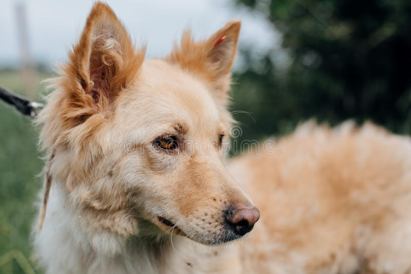 Cute fluffy yellow dog walking in green grass in summer park. Adorable mixed breed puppy with big fur on a walk at shelter. Adoption concept. Stray foxy dog royalty free stock photo
