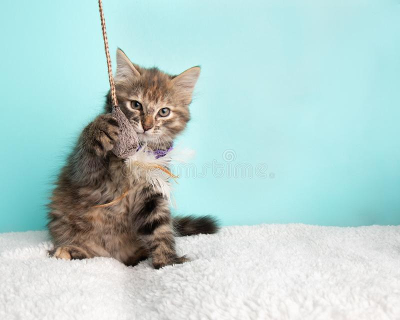 Cute Fluffy Young Tabby Kitten Rescue Cat Wearing Purple and White Poka Dotted Bow Tie Sitting Pawing and Playing with String and stock photo