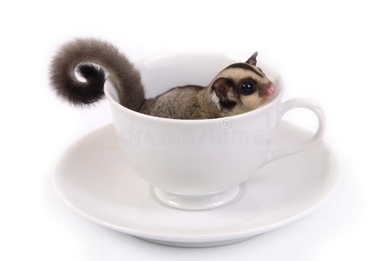 Cute flying squirrel in white ceramic cup. stock photos