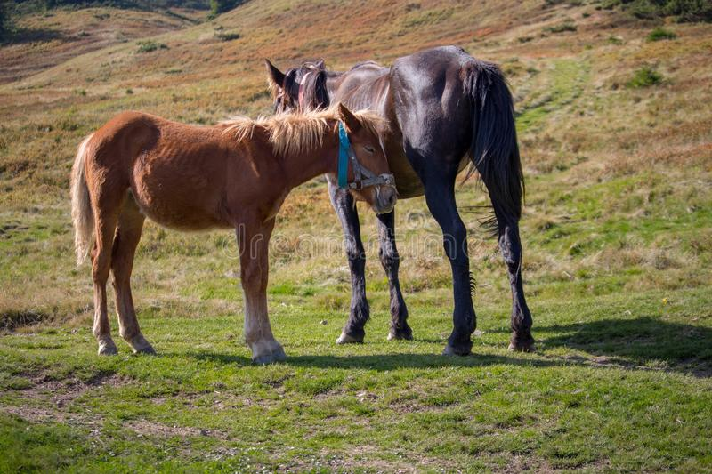 Cute foal with mare in pasture. Two horses in field. Rural ranch life. Animal family concept. Young foal and mother horse grazing. Cute foal with mare in royalty free stock image