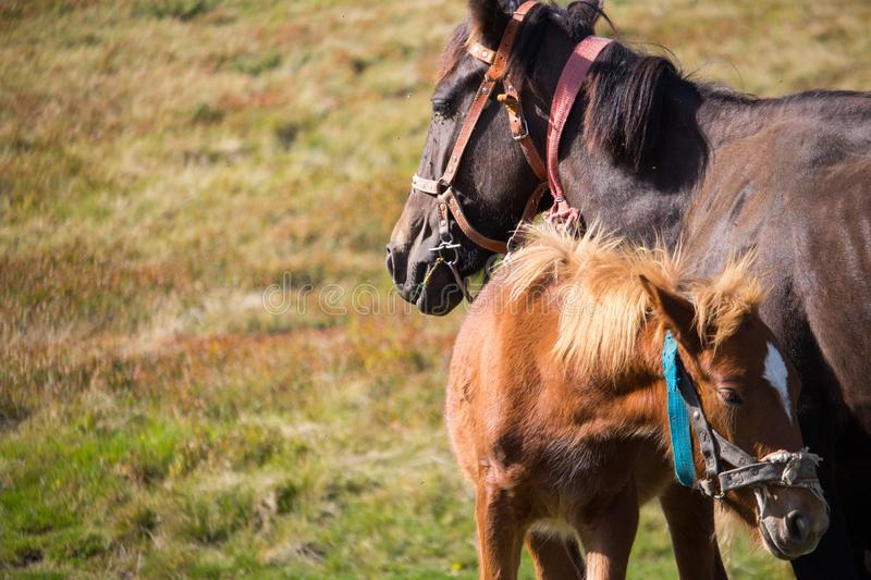 Cute foal with mare in pasture. Two horses in field. Rural ranch life. Animal family concept. Young foal and mother horse grazing. Cute foal with mare in stock photo