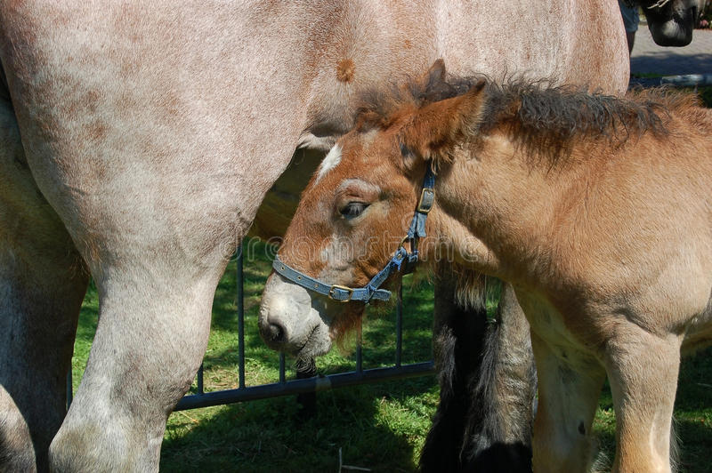 Cute foal with mum royalty free stock image