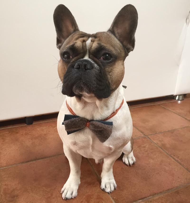 Cute french bouledogue bulldog sitting, dressed up for a party w stock photos