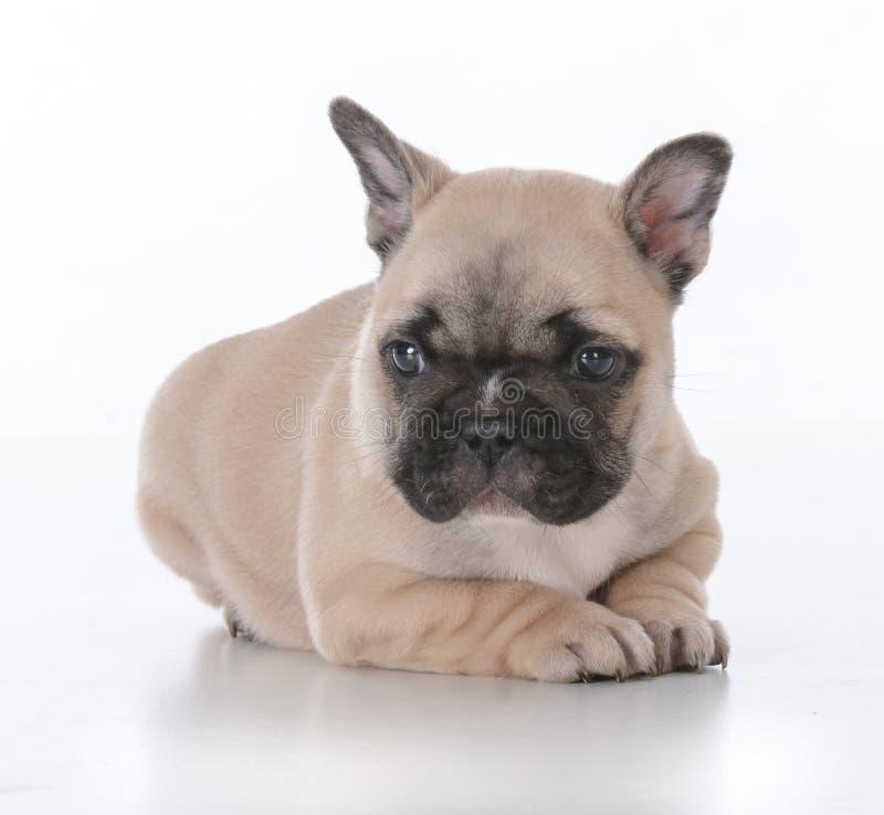 cute french bulldog puppy stock photography