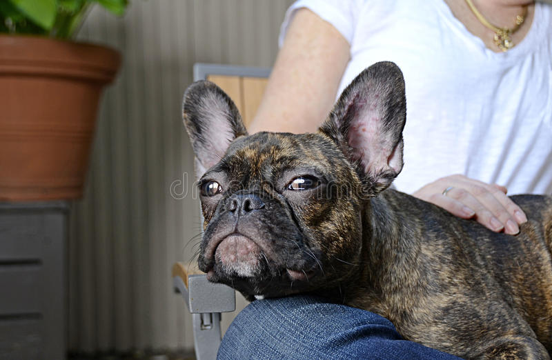 Cute French Bulldog Puppy With Allergies. NEW YORK CITY - MAY 2014: Adorable French Bulldog puppy with ear allergies outside in a garden in Manhattan on May 25 stock photo
