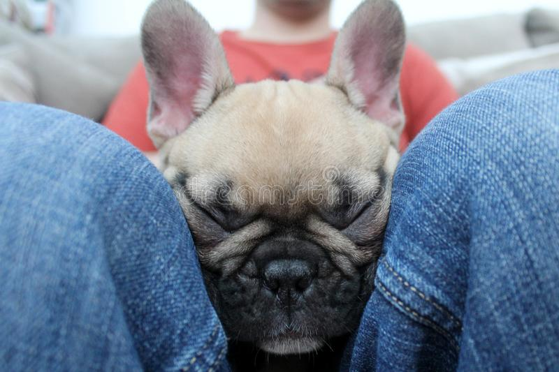 Cute french bulldog puppy napping sleeping on owner royalty free stock photo