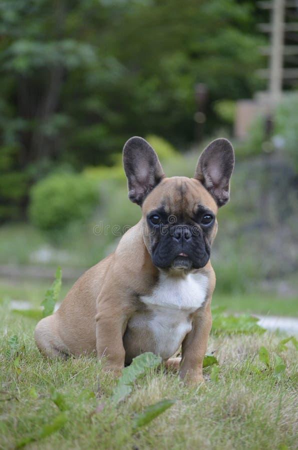 Cute french bulldog puppy stock photos