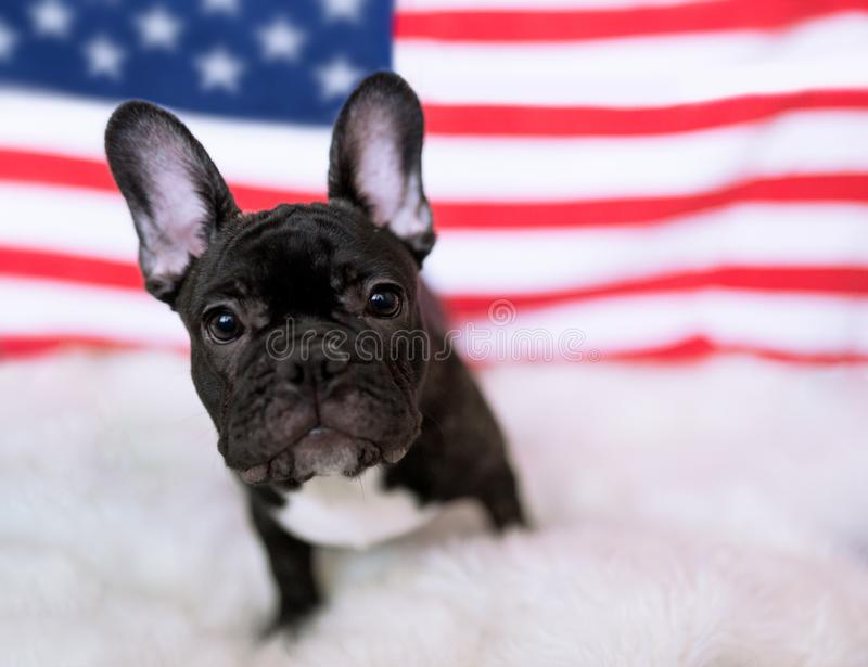 Cute French bulldog puppy standing in front of American flag royalty free stock images
