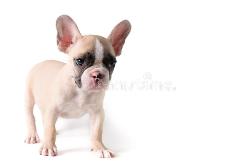 Cute french bulldog puppy standing isolated royalty free stock images