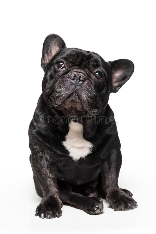 Cute french bulldog sitting and looking up isolated on white background stock photo