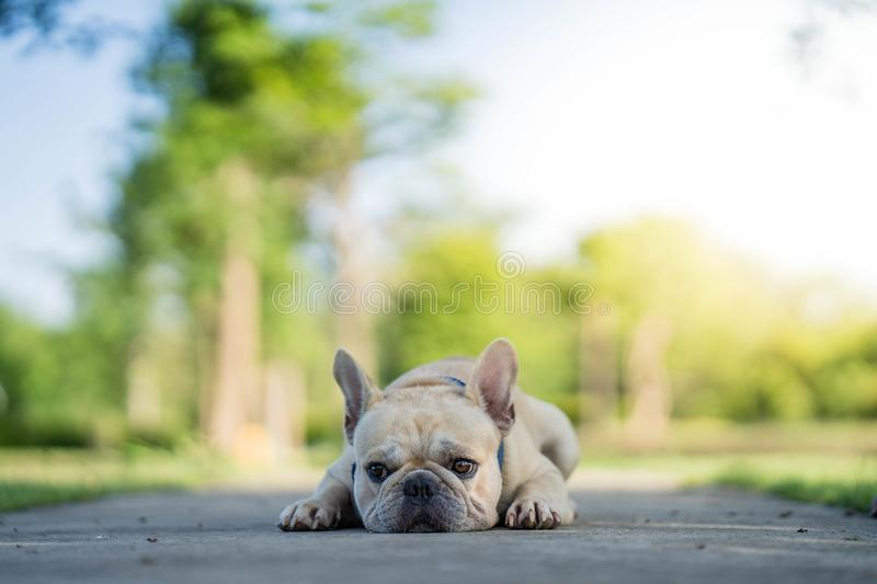 Cute French bulldog summer holiday stock images