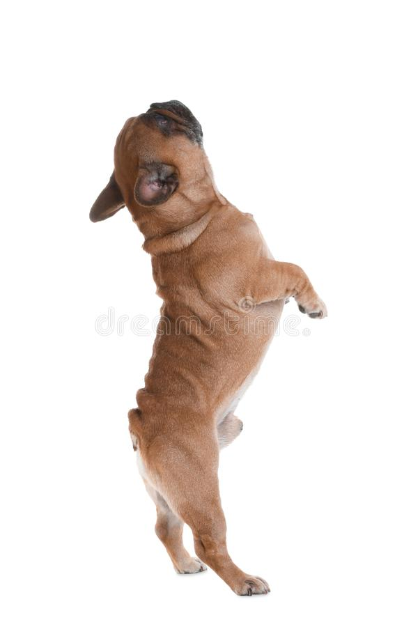 Cute French bulldog on white. Funny pet stock photos