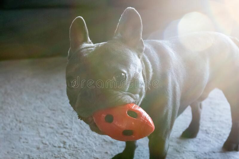 Cute french bulldor lying on the floor in modent appartment and chewing red toy royalty free stock images