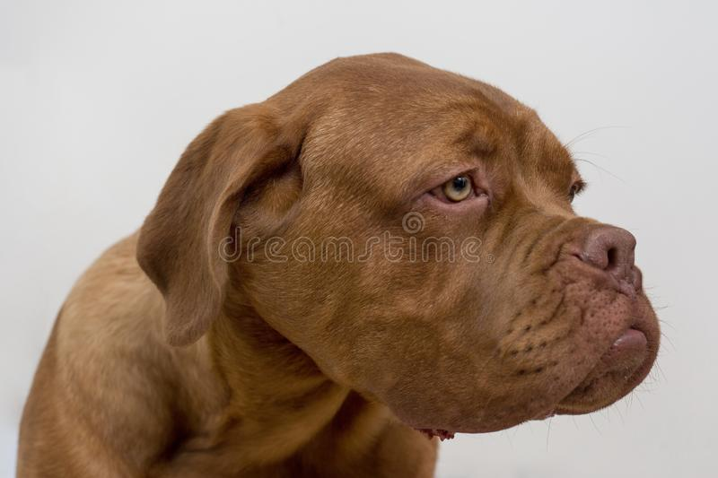 Cute french mastiff puppy  on a white background. Bordeaux mastiff or bordeauxdog. Five month old royalty free stock image