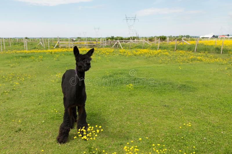Cute freshly shorn black alpaca standing munching grass in fenced enclosure stock image