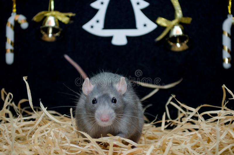 Cute funny blue irish gray rat sit on hay with New Year black background with Christmas tree, symbol of new 2020. Cute funny blue irish gray rat sitting on hay royalty free stock photo