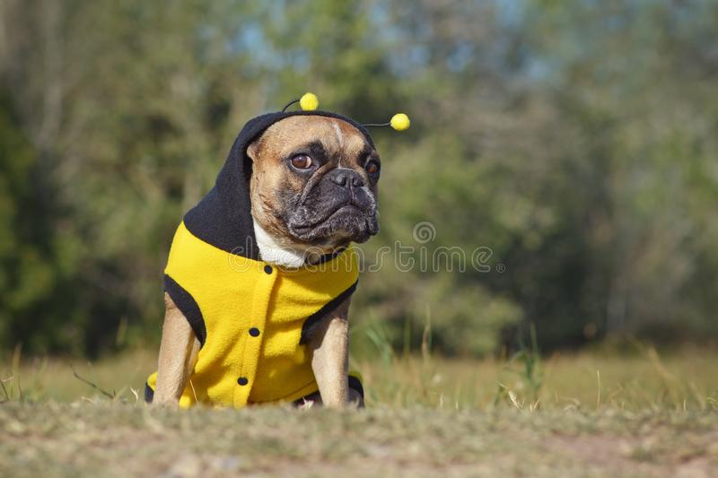 Cute and funny brown French Bulldog dog  dressed up as a bee wearing a black and yellow Halloween costume stock photography