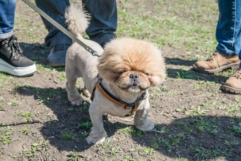 Cute and funny brown grooming pekingese dog in green grass backg. Round. Dog with haircut walk in summer park. Dog hair trimmer, grooming clippers, blades stock photos