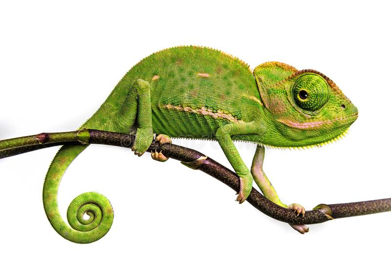 Cute funny chameleon - Chamaeleo calyptratus. On a branch royalty free stock photography