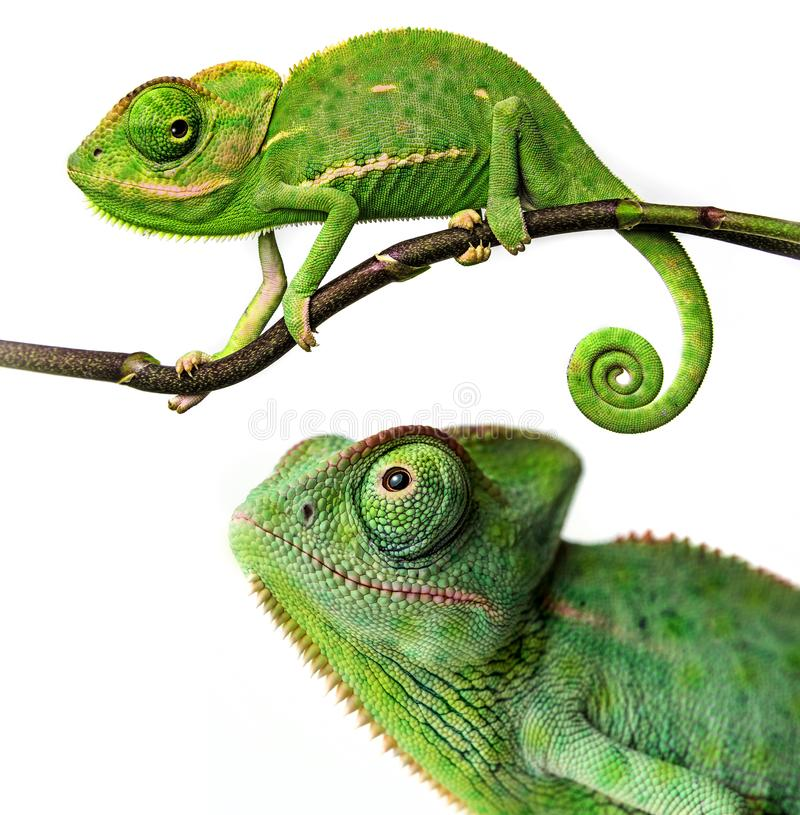 Cute funny chameleon - Chamaeleo calyptratus. On a branch stock image