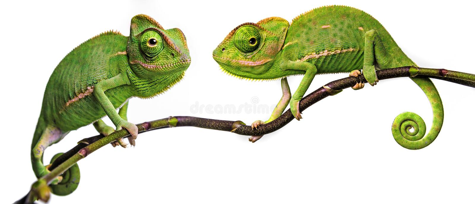 Cute funny chameleon - Chamaeleo calyptratus. On a branch royalty free stock photo