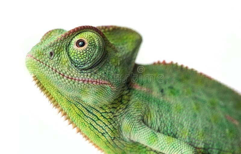 Cute funny chameleon - Chamaeleo calyptratus. On a branch stock photography
