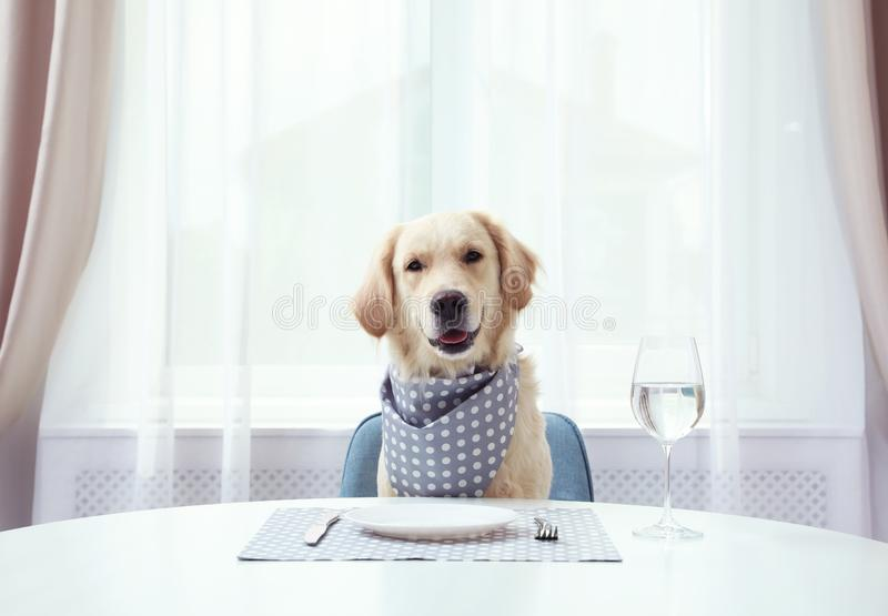 Cute funny dog waiting for food at  table indoors royalty free stock photography
