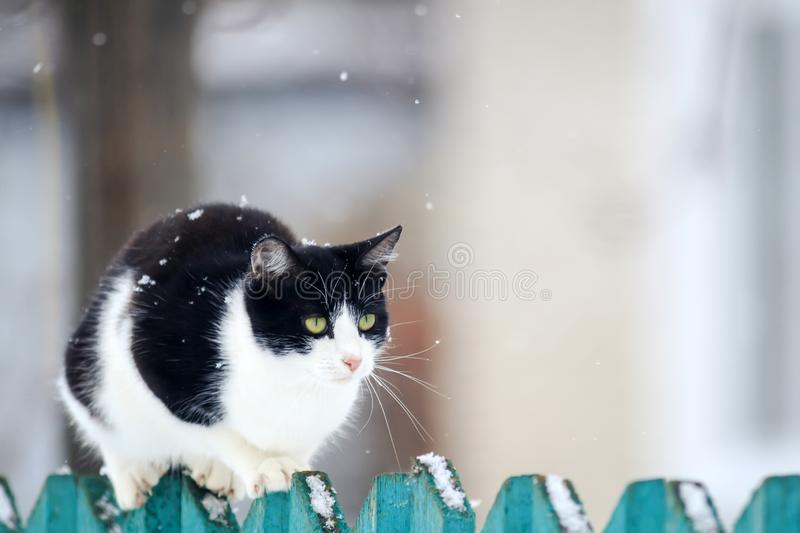 Funny domestic kitten sits on a wooden fence in the village in the garden during a snowfall. Cute funny domestic kitten sits on a wooden fence in the village in royalty free stock photo