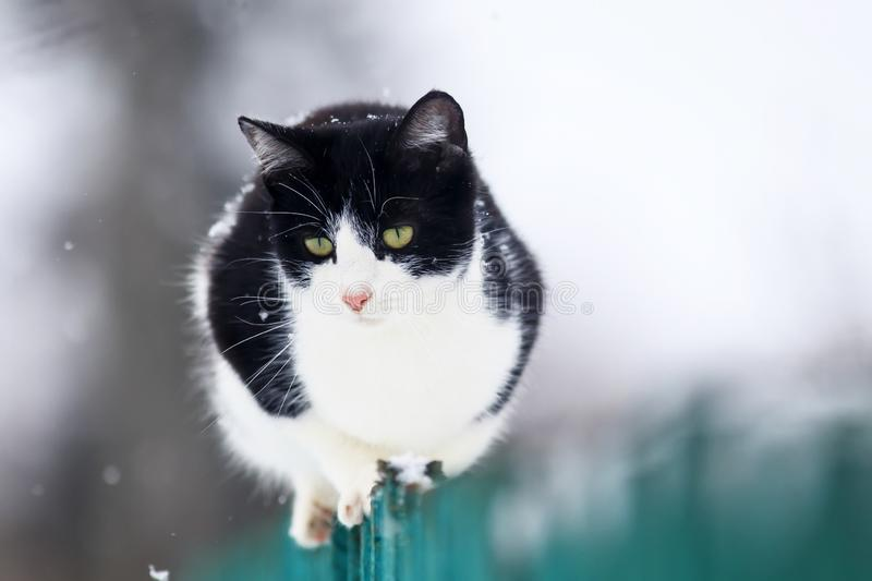Cute funny domestic kitten sits on a wooden fence in the village in the garden during a snowfall and looks into the distance. Funny domestic kitten sits on a royalty free stock images