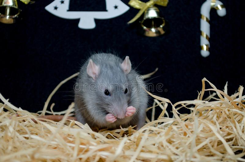 Cute funny gray rat sit on hay with New Year black background with Christmas tree and sweets, symbol of year 2020. Cute funny blue irish gray rat sitting on hay stock photos