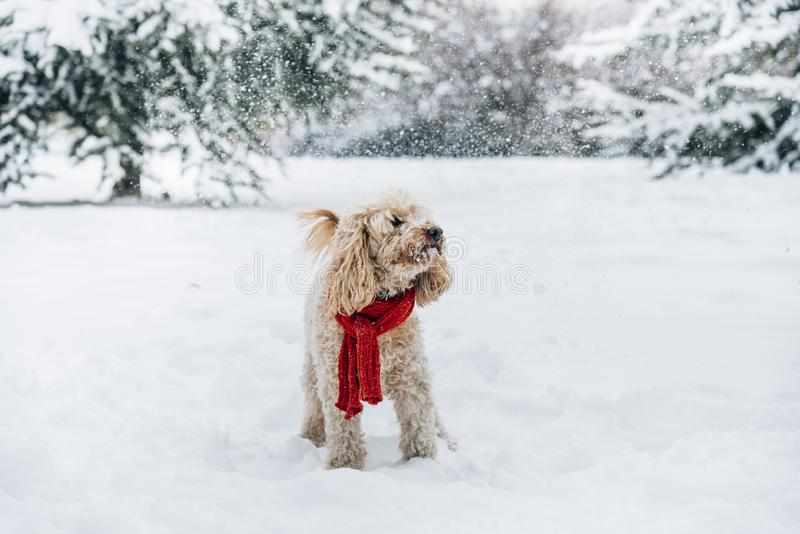 Cute and funny little dog with red scarf playing and jumping in the snow. royalty free stock images
