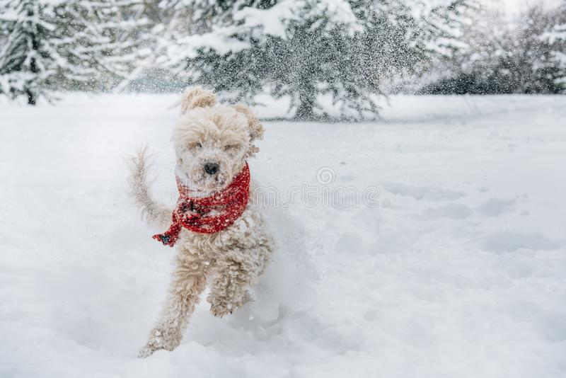 Cute and funny little dog with red scarf playing and jumping in the snow. stock image