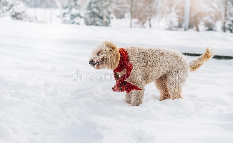 Cute and funny little dog with red scarf playing and jumping in the snow. royalty free stock photo