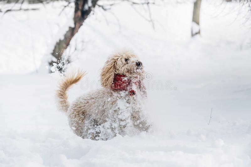 Cute and funny little dog with red scarf playing and jumping in the snow. stock photography