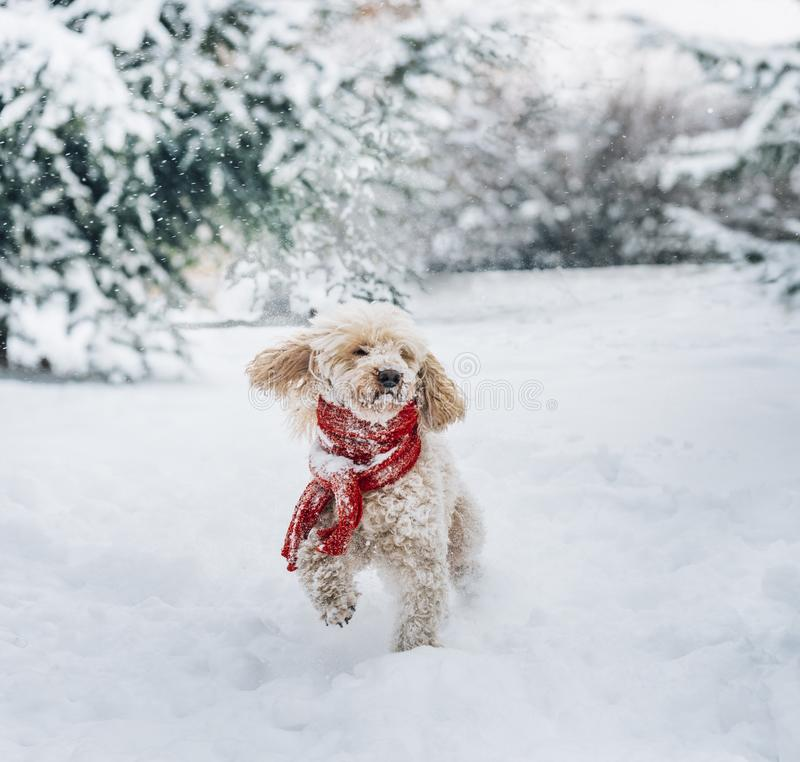 Cute and funny little dog with red scarf playing in the snow. Happy puddle puppy having fun with snowflakes royalty free stock images