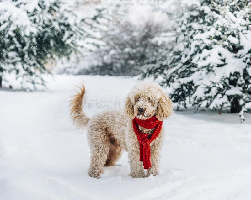 Cute and funny little dog with red scarf playing in the snow. Happy puddle puppy having fun with snowflakes royalty free stock image