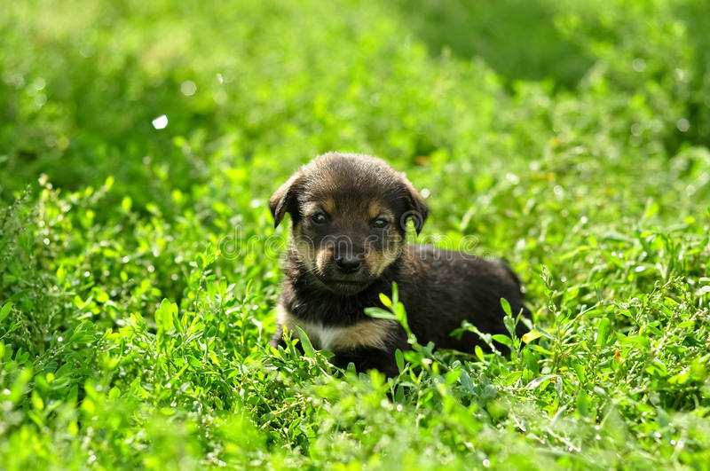 Cute funny little puppy in green fresh shining grass.  royalty free stock images