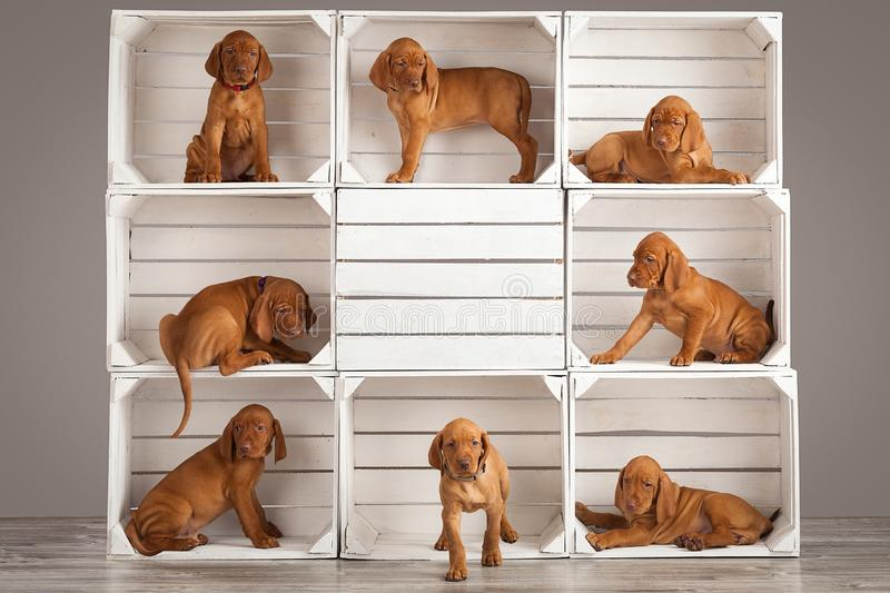 Cute, funny puppies dog vizslas vintage composition in studio royalty free stock images