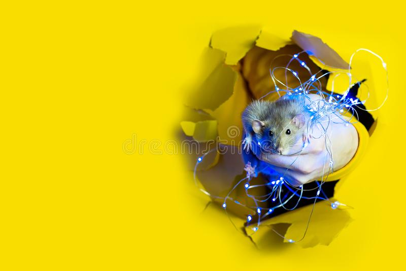A cute funny rat in a Christmas garland looks out of a hole in yellow paper. Advertising space stock images