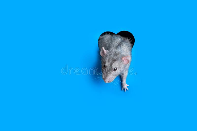 Cute funny rat crawls out of a hole in the shape of a heart in blue paper. Lovely pet. The rat is a symbol of the 2020 foot. Copy stock images