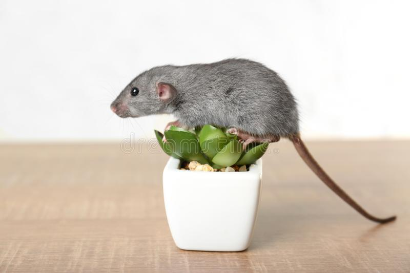 Cute funny rat and decorative plant stock photography