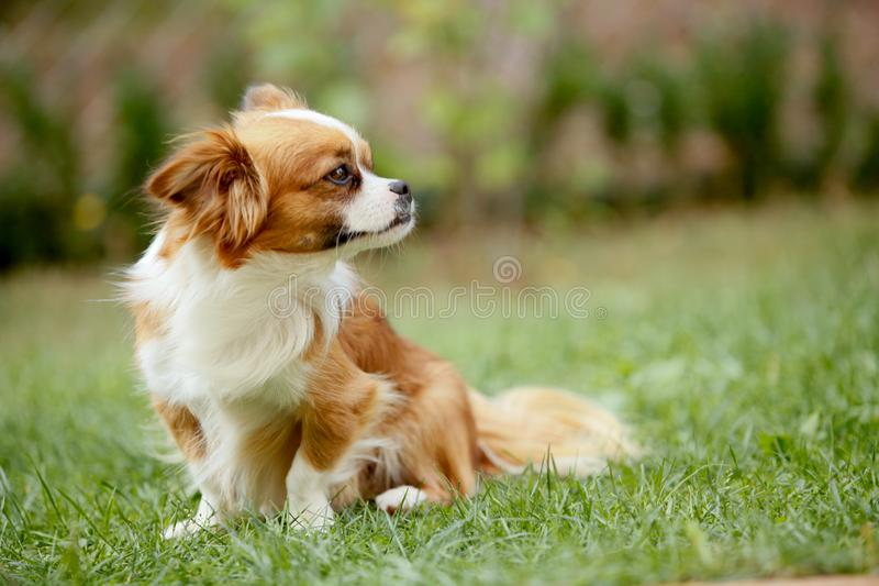 Cute and funny red light pekingese dog in autumn park playing with leaves and joyful. Best human friend. Pretty mature dog in royalty free stock images