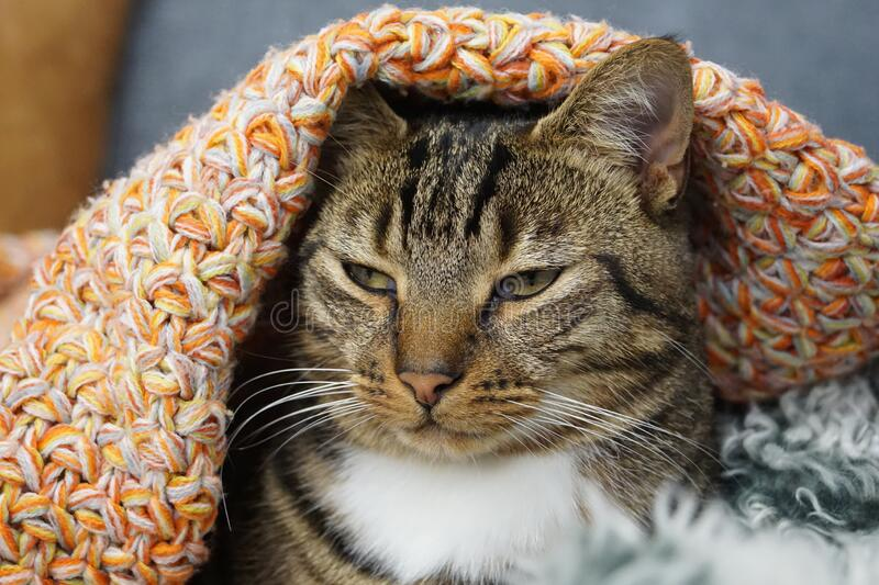 Cute funny tabby cat falling asleep under orange rug. Bright orange creates contrasting vibrant colours to add interest; background is blurred out to focus on royalty free stock image