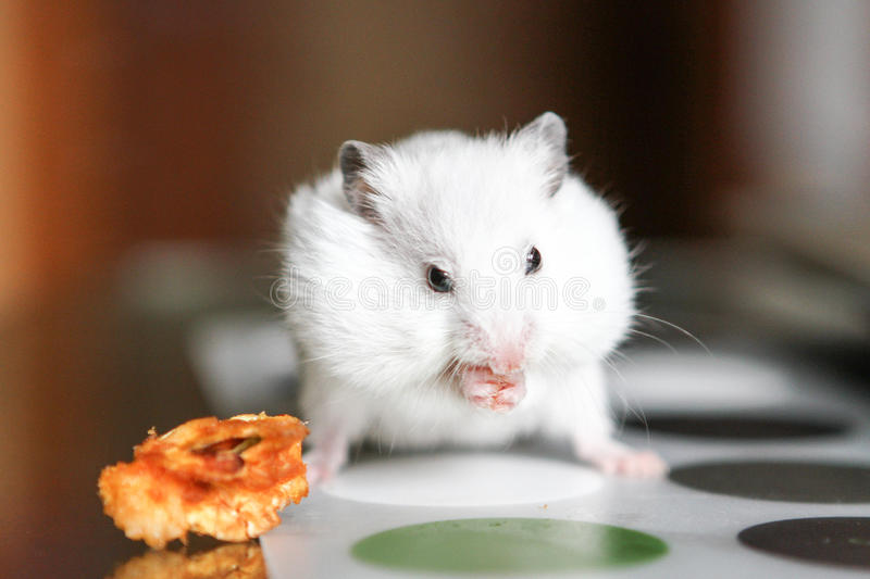 Cute funny white hamster eating an Apple. Cute funny white little hamster eats an Apple stock photography