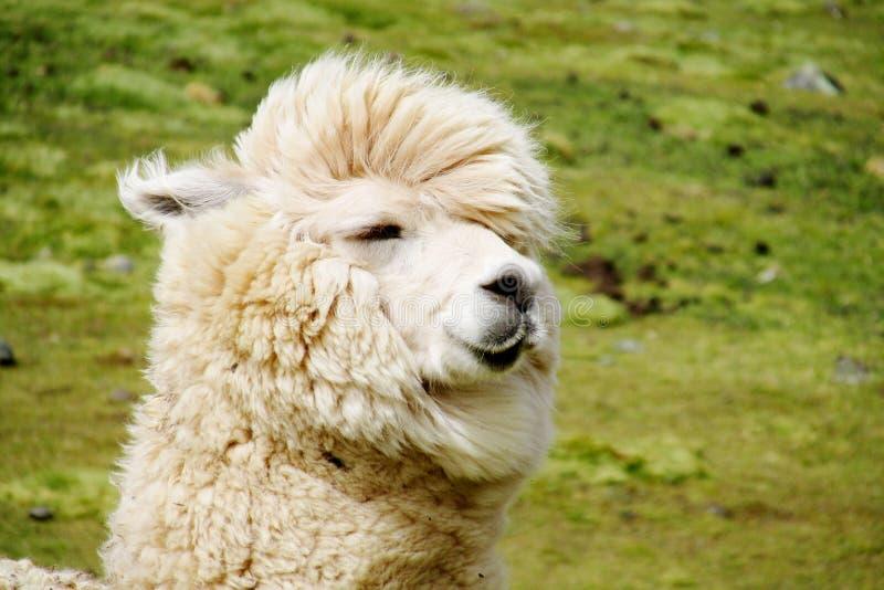Cute furry alpaca portrait stock photo